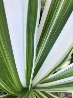 Crinum asiaticum variegata 'Variegated Crinum Lily' Rare Plants, Garden Art, White Flowers, Lily, Names, Orchids, Lilies, Yard Art