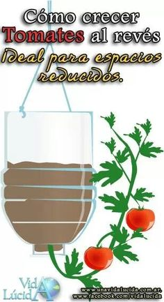 Several benefits lie in growing tomato plants upside down. Marvelous Benefits of Growing Tomatoes Upside Down Ideas. Growing Tomato Plants, Growing Tomatoes In Containers, Growing Vegetables, Types Of Tomatoes, Varieties Of Tomatoes, Grow Tomatoes, Culture Tomate, Tomato Growers, Tomato Farming