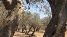 Olivenbäume in der Provence