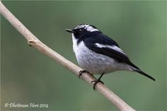 Little pied flycatchers are found in the Indian Subcontinent and Southeast Asia, ranging across Bangladesh, Bhutan, Cambodia, India, Indonesia, Laos, Malaysia, Myanmar, Nepal, the Philippines, Thailand, and Vietnam. (Dhritiman Hore)