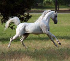 arabian horse 1 1 characteristics of arabian horse 1 2 uses of arabian Beautiful Arabian Horses, Most Beautiful Horses, Majestic Horse, All The Pretty Horses, Animals Beautiful, Horses And Dogs, Cute Horses, Horse Love, Wild Horses