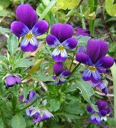 """wild violets are deliciously edible. They are the heart of 'candied violets', and look and taste great adorning salads. They are also a tremendous source of rutin, a hard-to-find nutrient that strengthens capillary walls, preventing or reversing the visible effects of varicose and spider veins."" My favorite!"