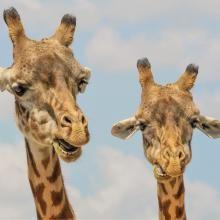 Free Image on Pixabay - Giraffe, Animals, Zoo, Funny, Fauna Happy Birthday Babe, Happy Birthday Images, Birthday Messages, Birthday Wishes, Birthday Quotes, Birthday Greetings, Birthday Cards, Adopt A Giraffe, Funny Giraffe