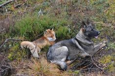 And they love to rest together. fox and dog bff's read about them