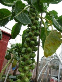 Become An Expert On How To  Grow Brussel Sprouts