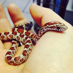 corn snake is super cute! This corn snake is super cute! Spiders And Snakes, Baby Snakes, Cool Snakes, Pretty Snakes, Beautiful Creatures, Animals Beautiful, Cute Animals, Unique Animals, Milk Snake