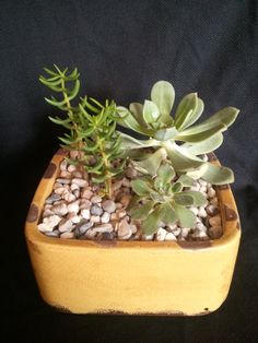 Living succulent arrangement in a large square by UrbanSucculent, $63.00