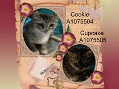 STILL IN NEED OF PLACEMENT!! How Sweet They Are!  Friendly Mom With One Kitten Needs You at BACC!  COOKIE & CUPCAKE!