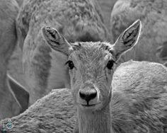 Deer by devender meena on 500px