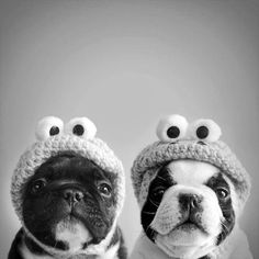 So cute! I'm guessing their some kind of bulldog Love My Dog, Puppy Love, Baby Animals, Funny Animals, Cute Animals, Yorkshire Terrier, Boston Terrier, Pugs, Pekinese