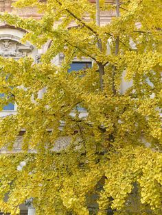 Milan (Italy) - Autumn colors of a Ginkgo biloba inside the main seat of the State University
