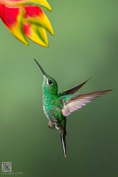 llbwwb: (via 500px / Green-crowned Brilliant by Phoo (mallardg500) Chan)