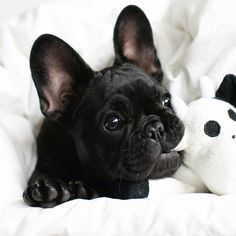 French bulldog...