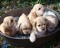 Cocker Spaniel Puppies...