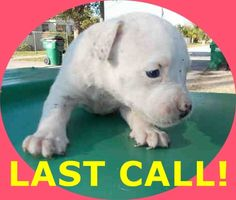 SNOW (A1674703) I am a female white Terrier mix.  The shelter staff think I am about 4 weeks old.  I was found as a stray and I may be available for adoption on 01/23/2015. — hier: Miami Dade County Animal Services. https://www.facebook.com/urgentdogsofmiami/photos/pb.191859757515102.-2207520000.1422133713./915609785140092/?type=3&theater