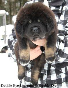 Tiibetinmastiffi do-khyi Tibetan mastiff DOUBLE EYE LAFRODITE