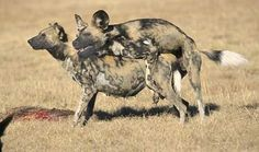 Goat Mating With Human | Goat Mating With Female | Animals ...