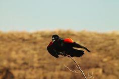 Red wing black bird.  Morning stretch