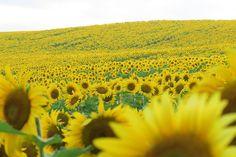 Hey let's get a group picture!  ワイワイガヤガヤワイワイガヤガヤ そこーなまらさがってゃ なして ワシも写りたぃゃ ワイワイガヤガヤ そこの(灬)早く撮ってなぁ (灬)いくではい Smile  わい  わやぼけぼけやぁ ( _)したっけね ひまわり畑 #ひまわり ##sunflower #sunset #sunflowers #Hokkaido #北海道#名寄市 #名寄 #智恵文 #ひまわり畑  #なよろひまわり #向月葵 #星守る犬 #STARPROTECTORDOG #ビタミンカラー#해바라기 #葵花