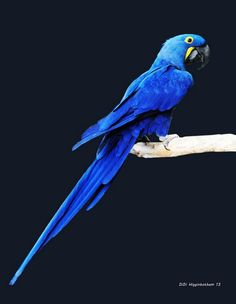 Hyacinth Macaw-met the sweetest young hyacinth today. Why do they have to be so expensive?? Lol