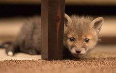 bebe-renard-orphelin
