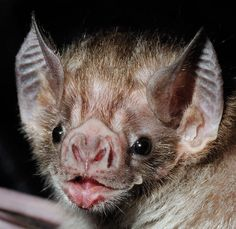 Vampire Bat These winged animals are not after your blood. Description from pinterest.com. I searched for this on bing.com/images