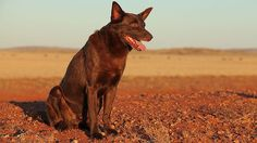 Koko on the set of 'Red Dog'.  The seven-year-old red cloud kelpie became the country's best-known dog when he featured in the hit film about a freewheeling canine who united a Pilbara mining community in the 1970s.  R.I.P.