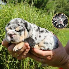 Pups for Sale! Greenfield Puppies has actually been finding houses for young puppies from trusted pet dog breeders considering that Discover you. Mini Bulldog, English Bulldog Puppies, English Bulldogs, French Bulldogs, Cute Dogs And Puppies, Baby Puppies, Doggies, Teacup Puppies, Corgi Puppies