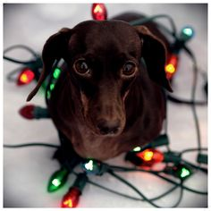 festive doxie