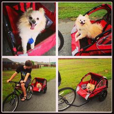 Bike Ride with our pup! #Pomeranian #dog #furbaby