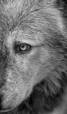 Wolf, beautiful wolf :)