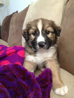 Collie mix on pinterest border collie mix collie and border collies