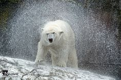 Das Bild wurde in der Wilhelma aufgenommen. https://500px.com/photo/47097866/etwas-nass-by-nikolett-lengyel?from=user_library #polar bear#shake it!#https://www.facebook.com/pages/Nikolett-Lengyels-Photography/181525438568605
