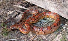 Corn Snake http://srelherp.uga.edu/snakes/pics/elagut210.jpg