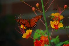 gulf fritillary on Mexican bird of paradise