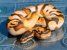 Enchi Calico - Flora & Fauna's Line - Morph List - World of Ball Pythons Pretty Snakes, Cool Snakes, Beautiful Snakes, Reptile House, Reptile Room, Cute Reptiles, Reptiles And Amphibians, Creepy Animals, Snake Photos