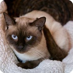 Brimfield, MA - Siamese. Meet Cosmo, a cat for adoption. http://www.adoptapet.com/pet/11391204-brimfield-massachusetts-cat
