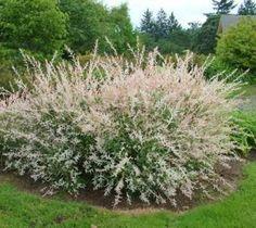 Hakuro Nishiki Dappled Willow Salix integra 'Hakuro-nishiki' ( also known as dappled japanese willow, or variegated willow ) 'Hakuro-nishiki' is a more compact cultivar that typically grows to 4-6' ta