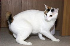 Physical characteristics The Japanese Bobtail is a medium size cat with an athletic but slender built. The body is long and graceful; it reveals the well-developed Rare Cat Breeds, Rare Cats, Cats And Kittens, Gato Bobtail, Japanese Bobtail, Small Cat, Cat Photography, Domestic Cat, Pretty Cats