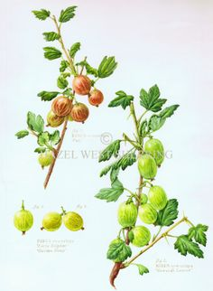 Garden Fruit Collection | Hazel West-Sherring | Botanical Artist