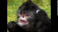 El mono de nariz chata birmano aparece aquí en una imagen digital. Solo recientemente se lo pudo fotografiar.