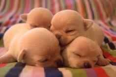 Shhhh...baby Chihuahuas, sleeping... <3