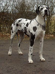 "A Harlequin Great Dane. The Great Dane, also denoted as Grand Danois, is a German breed. The Great Dane is one of the world's tallest dog breeds; the current world record holder, measuring 112 cm in) from paw to shoulder, is ""Zeus"". Best Big Dog Breeds, Most Popular Dog Breeds, Large Dog Breeds, Giant Dog Breeds, Clumber Spaniel, Springer Spaniel, Big Dogs, Large Dogs, Great Danes"