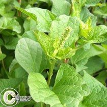 Plant Bulbes AIL DES OURS fleur vivace B O T A N I C A