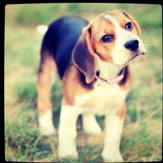 Beagles = Happiness Doesn't get much cuter but good luck keeping them on your property.