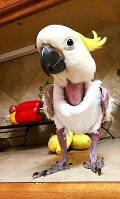 34 Best Plucker Parrots Images Parrots Parakeets Parrot