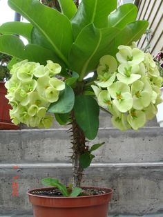 Exotic Flowers, Beautiful Flowers, Crown Of Thorns Plant, Front Door Christmas Decorations, Euphorbia Milii, Hardy Plants, Plant Decor, Shrubs, House Plants