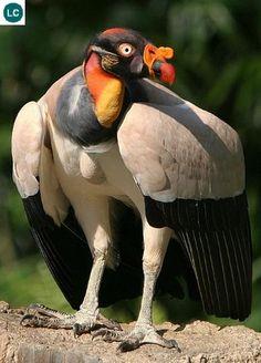 Kền kền vua Trung và Nam Mỹ | King vulture (Sarcoramphus papa)(Cathartidae) IUCN Red List of Threatened Species 3.1 : Least Concern (LC) | (Loài ít quan tâm)