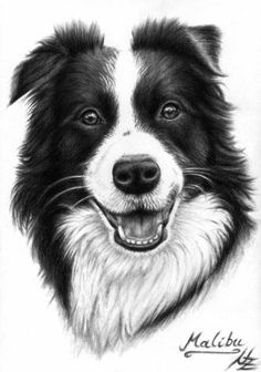 Border Collie Drawing by Nicole Zeug - Border Collie Fine Art Prints and Posters for Sale