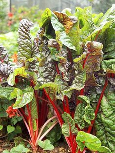 The Best Cold-Tolerant Veggies: Swiss Chard. This may be the prettiest vegetable you can grow. Swiss chard offers glossy green heart- or arrow-shape leaves carried on colorful purple, pink, red, gold, orange, or white stalks. The leaves taste a bit like spinach.